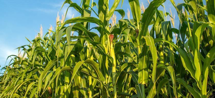 Conheça os novos híbridos para a safrinha de milho