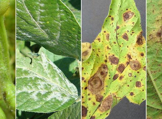 Veja as doenças que atacam severamente as lavouras de soja e derrubam a produtividade