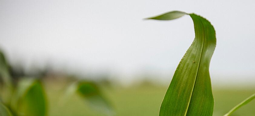 Sul: chuva acima da média deve acompanhar a safra de milho
