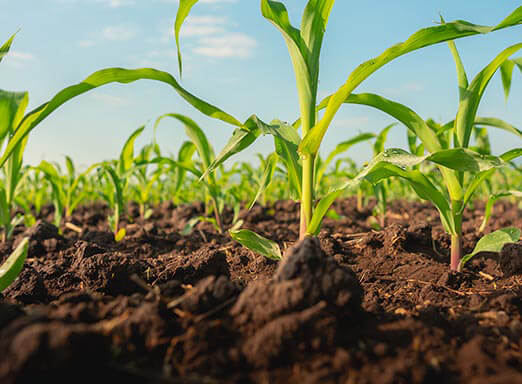 4 passos para acabar com as plantas daninhas no milho