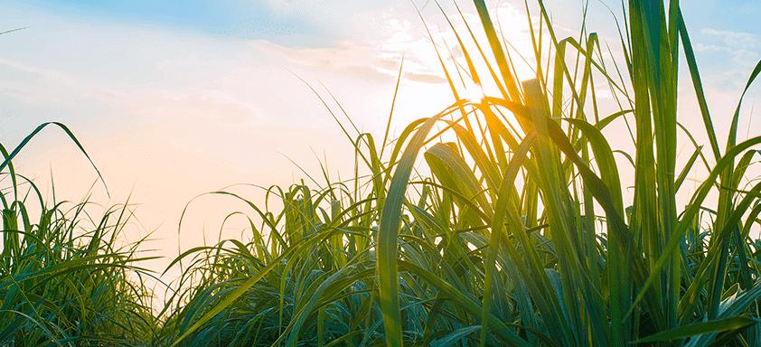 A importância do maturador antecedendo a colheita da cana