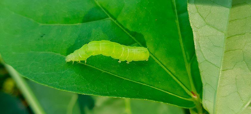 Adjuvantes: mais potência no controle de lagartas da soja