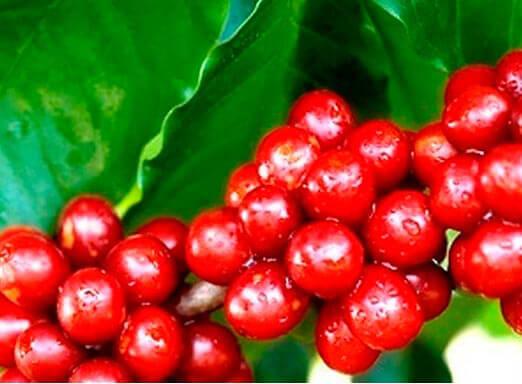 Bicho-mineiro: como combater a principal praga do café