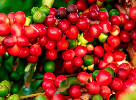 Café: controle as pragas com uma única solução