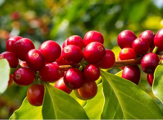 Café: invista em precisão no controle de pragas