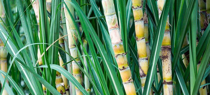 Cana-de-açúcar: controle a broca da cana com superioridade