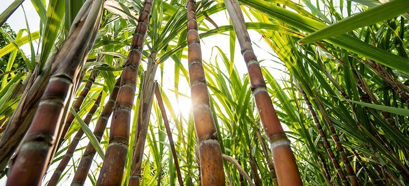 Cana-de-açúcar: é tempo de proteger a lavoura das doenças