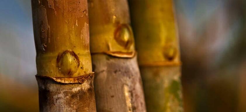Cana-de-açúcar: quanto a cultura perde por causa das doenças?