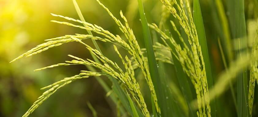 Ciclo do arroz: proteja a sua lavoura do ataque dos percevejos