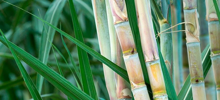 Combate eficaz às plantas daninhas em todo o ciclo da cana