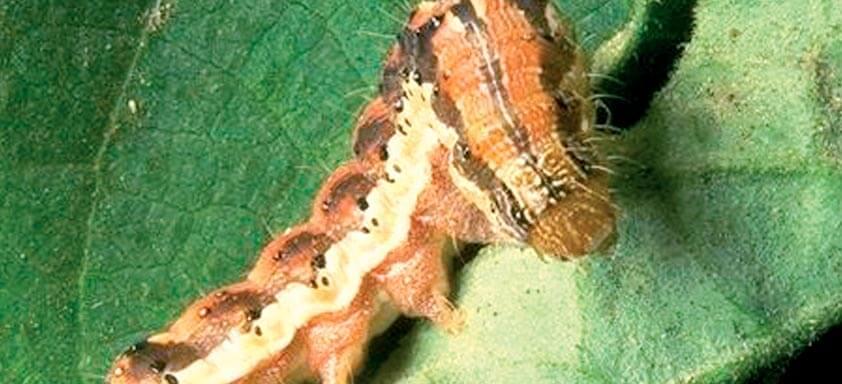 Como driblar o aumento da resistência das lagartas da soja?