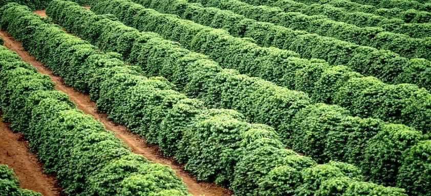Como reconhecer as doenças que atacam na florada do café?
