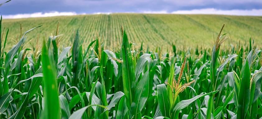 Daninhas no milho: você está preparado para o controle?