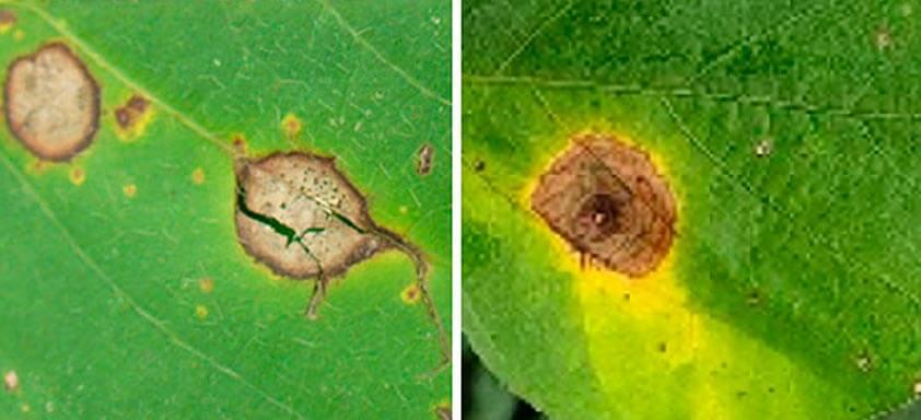 Doenças da soja: como controlar antracnose e mancha-alvo?