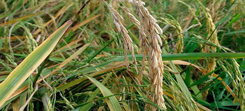 Fungicida para arroz: proteja sua lavoura da brusone