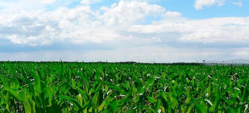 Fungicidas sistêmicos: os benefícios para a lavoura de milho