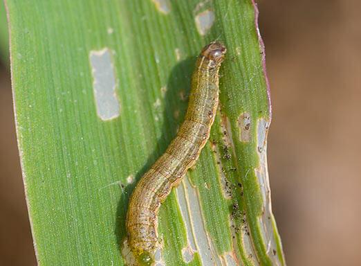Lagartas do milho: como combatê-las sem gastar muito