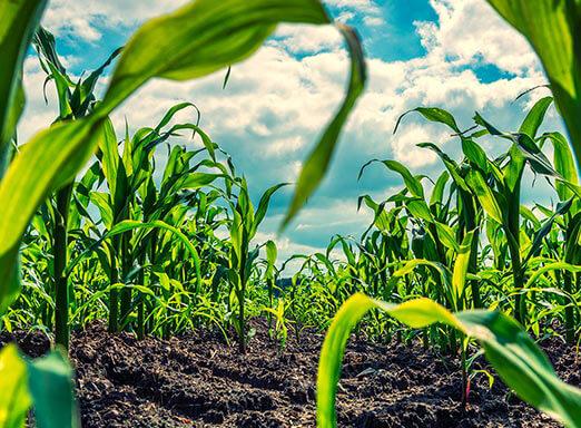 Milho: dê adeus às plantas daninhas em sua lavoura