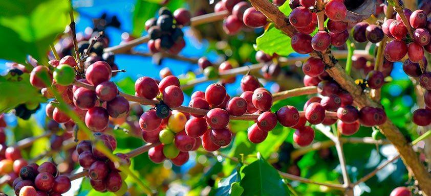 Bicho-mineiro e pragas do café: como ser preciso no controle