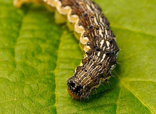Soja: como evitar que as lagartas prejudiquem a lavoura