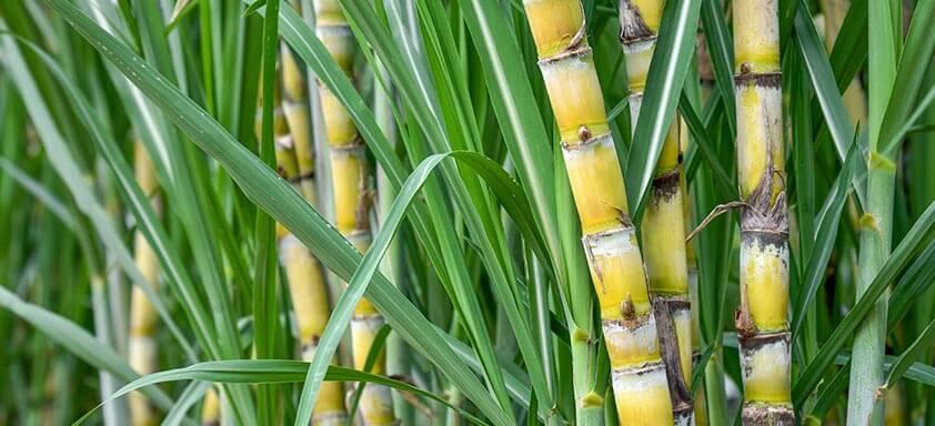 Por que aplicar o maturador na pré-colheita da cana?