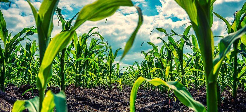 Safrinha do milho: você está preparado para controlar as doenças?