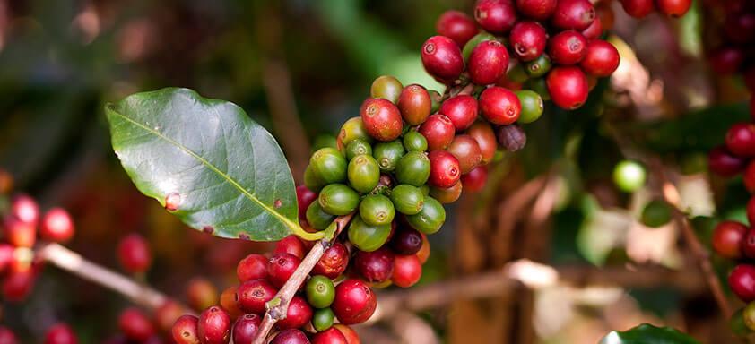 Saiba como ter uma florada bonita e um cafezal produtivo