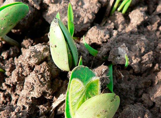 Tratamento de sementes: proteção para a cultura da soja