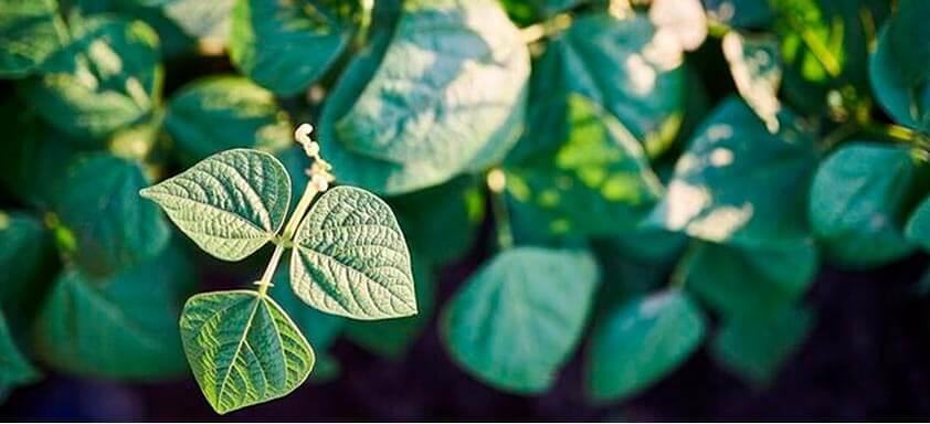 Tratamento de sementes: proteja o seu feijão desde o plantio