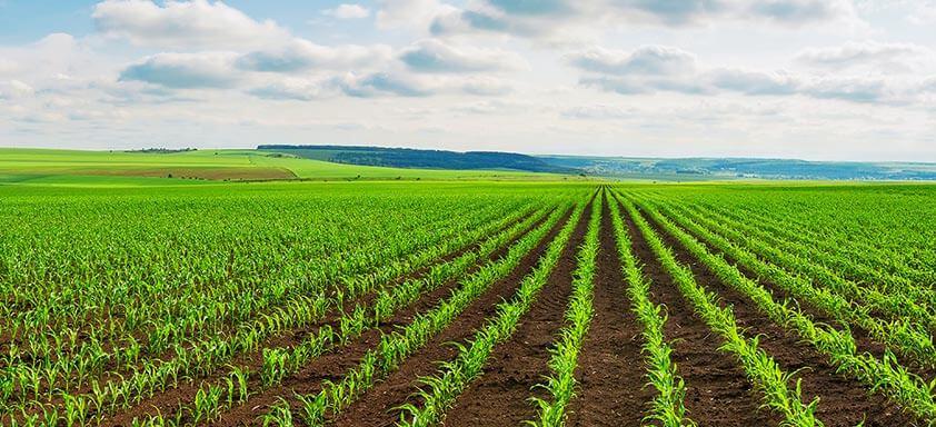Tratamento de sementes reduz prejuízos nas lavouras de milho
