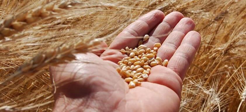 Trigo: cereal tem destaque no agronegócio brasileiro