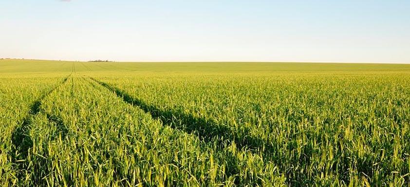 Trigo: como a qualidade do grão impacta na comercialização?