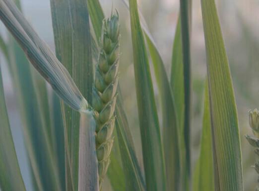 Trigo: tratamento de sementes pode contribuir para o controle de pragas