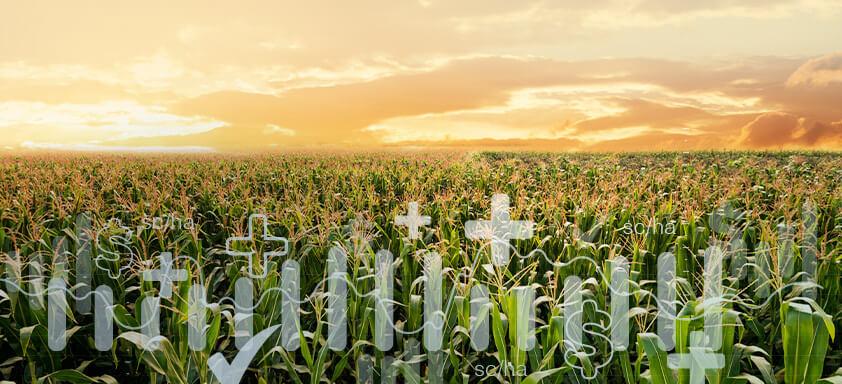 Milho: conheça os desafios da cultura e veja porque as sementes NK são parte da solução