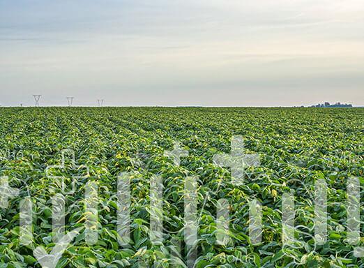 Veja os desafios da cultura da soja e saiba como as sementes NK são parte importante da solução