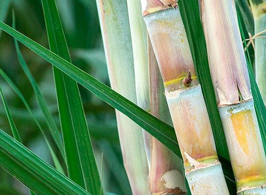 Herbicida para cana: escolha correta é fundamental