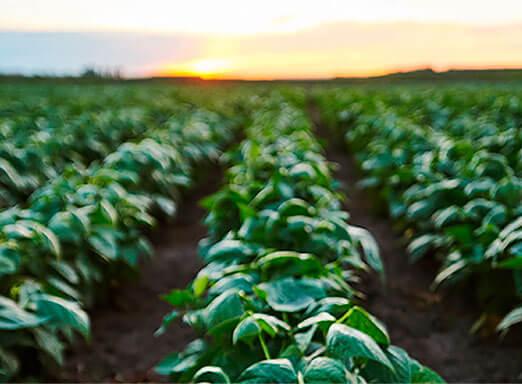 Feijão, a cultura que engorda o agro