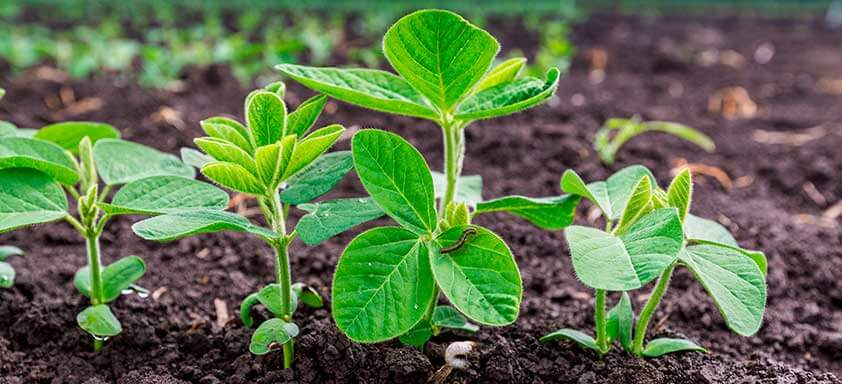 Como proteger sua lavoura de soja do ataque de pragas iniciais