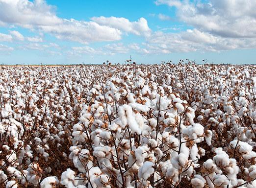 Os perigos da ramulária e do bicudo na cultura do algodão