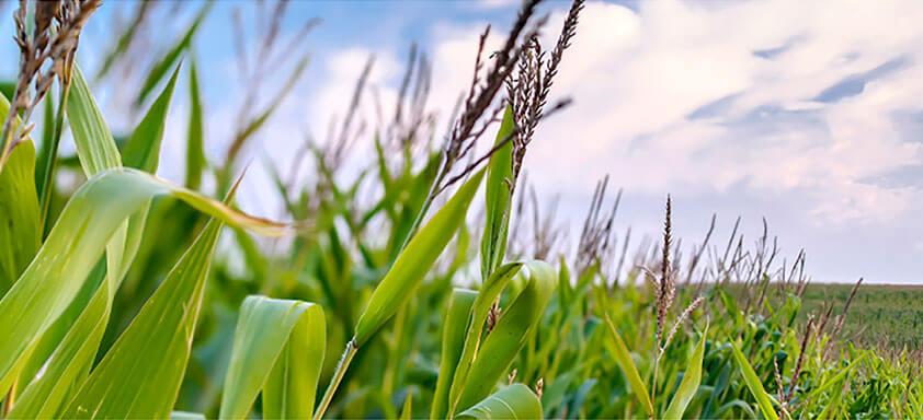 Os perigos das pragas iniciais para a cultura do milho