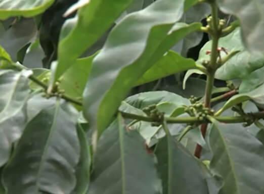 Como prevenir o ataque de doenças no cafezal?
