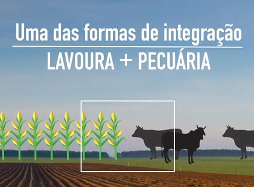 [Integração lavoura + pecuária] O consórcio milho-braquiária contribui com esse processo?