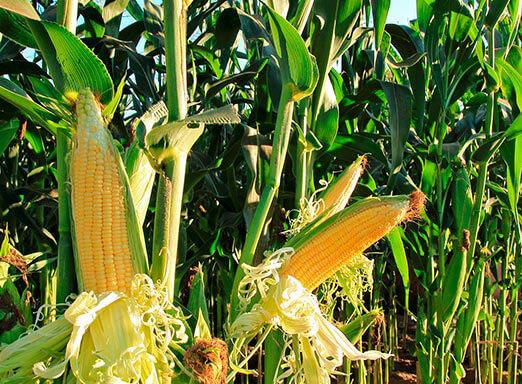 O aproveitamento das terras cultivadas proporciona melhor conservação do solo e assertividade no manejo de plantas daninhas do milho