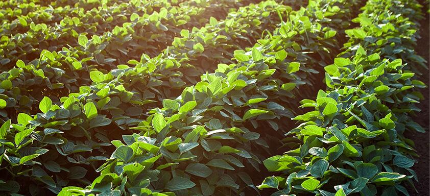 Novo inseticida é solução para o controle de lagartas nas lavouras de soja