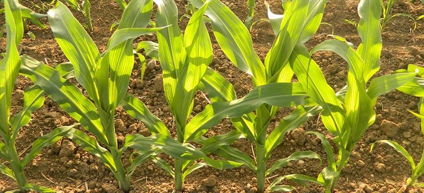 Soluções para uma lavoura de milho saudável e produtiva
