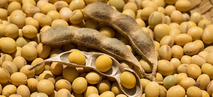 Grãos de soja: oleaginosa está sendo exportada para China