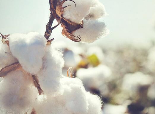 lavoura de algodão