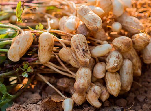 Cultura do amendoim exige uma série de cuidados no manejo