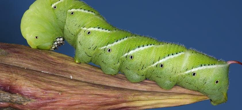 Lagarta-verde