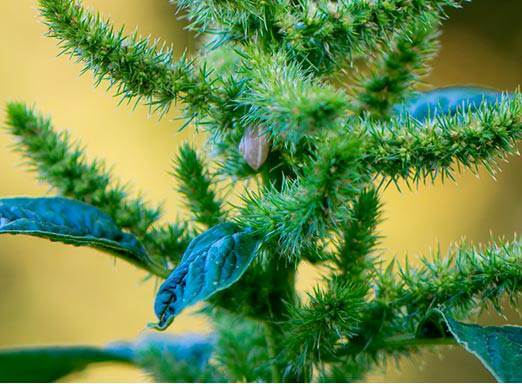 Caruru é uma das plantas daninhas que prejudicam a lavoura